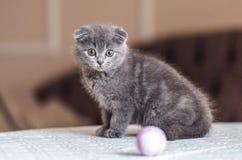 Σκωτσέζικη γάτα μωρών πτυχών που κοιτάζει επίμονα στο μπέιζ-μπώλ στοκ εικόνες με δικαίωμα ελεύθερης χρήσης