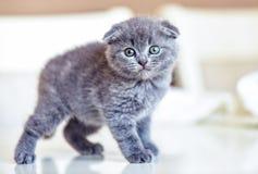 Σκωτσέζικη γάτα μωρών πτυχών που περπατά στον πίνακα στοκ φωτογραφίες