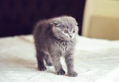 Σκωτσέζικη γάτα μωρών πτυχών που φοβάται και που ματαιώνεται στοκ φωτογραφία με δικαίωμα ελεύθερης χρήσης