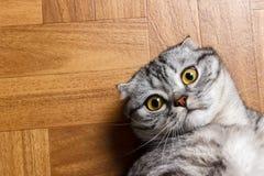 Σκωτσέζικη γάτα που βρίσκεται στο πάτωμα και που εξετάζει πολύ τη κάμερα Βρετανική γάτα που βρίσκεται στο πάτωμα Στοκ Εικόνα