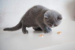 Σκωτσέζικη γάτα πτυχών με τα γαμήλια δαχτυλίδια γαμήλια εξαρτήματα, δαχτυλίδι Στοκ εικόνα με δικαίωμα ελεύθερης χρήσης