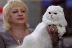 Σκωτσέζικη γάτα πτυχών με τα διαφορετικά μάτια Στοκ Φωτογραφία