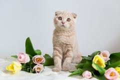 Σκωτσέζικο πορτρέτο γατακιών Γάτα στο σπίτι Σκωτσέζικη γάτα πτυχών με την ανθοδέσμη λουλουδιών Έννοια για το χαιρετισμό ή την κάρ στοκ εικόνες