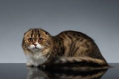 Σκωτσέζικη γάτα πτυχών που φαίνονται κεκλεισμένων των θυρών και ψέματα σε γκρίζο Στοκ Εικόνες