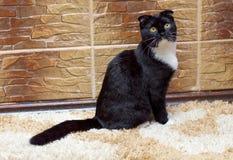 Σκωτσέζικη γάτα πτυχών στο σπίτι στον τοίχο Στοκ φωτογραφία με δικαίωμα ελεύθερης χρήσης
