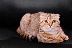 Σκωτσέζικη γάτα πτυχών τιγρέ σε ένα μαύρο υπόβαθρο Στοκ Φωτογραφία