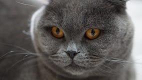Σκωτσέζικη γάτα 2 πτυχών στοκ εικόνα με δικαίωμα ελεύθερης χρήσης