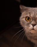 Σκωτσέζικη γάτα στο μαύρο δωμάτιο Στοκ εικόνες με δικαίωμα ελεύθερης χρήσης