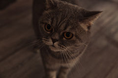 Σκωτσέζικη γάτα στο δωμάτιο Στοκ Εικόνα