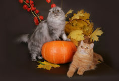 Σκωτσέζικη γάτα δύο με τα φύλλα φθινοπώρου Στοκ φωτογραφία με δικαίωμα ελεύθερης χρήσης