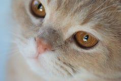 Σκωτσέζικη γάτα Στοκ Φωτογραφία