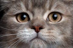 Σκωτσέζικη ευθεία γάτα κινηματογραφήσεων σε πρώτο πλάνο στοκ φωτογραφία