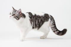 Σκωτσέζικη ευθεία γάτα που μένει τέσσερα πόδια Στοκ φωτογραφία με δικαίωμα ελεύθερης χρήσης
