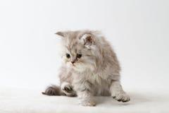 Σκωτσέζικη ευθεία μακρυμάλλης συνεδρίαση γατακιών στο άσπρο υπόβαθρο Στοκ φωτογραφία με δικαίωμα ελεύθερης χρήσης