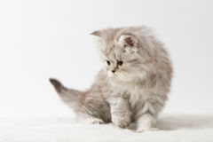 Σκωτσέζικη ευθεία μακρυμάλλης συνεδρίαση γατακιών στο άσπρο υπόβαθρο Στοκ φωτογραφίες με δικαίωμα ελεύθερης χρήσης
