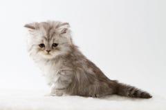Σκωτσέζικη ευθεία μακρυμάλλης συνεδρίαση γατακιών στο άσπρο υπόβαθρο Στοκ Φωτογραφία