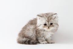 Σκωτσέζικη ευθεία μακρυμάλλης συνεδρίαση γατακιών στο άσπρο υπόβαθρο Στοκ Εικόνα