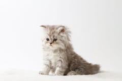 Σκωτσέζικη ευθεία μακρυμάλλης συνεδρίαση γατακιών στο άσπρο υπόβαθρο Στοκ εικόνες με δικαίωμα ελεύθερης χρήσης