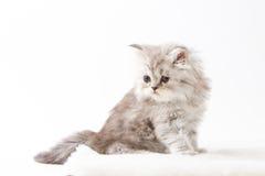 Σκωτσέζικη ευθεία μακρυμάλλης συνεδρίαση γατακιών στο άσπρο υπόβαθρο Στοκ Εικόνες