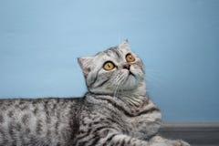 Σκωτσέζικη φυλή γατών Στοκ εικόνες με δικαίωμα ελεύθερης χρήσης