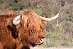 Σκωτσέζικη galloway αγελάδα Στοκ εικόνες με δικαίωμα ελεύθερης χρήσης