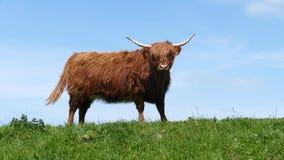 Σκωτσέζικη highlander αγελάδα στοκ εικόνα