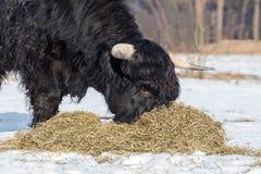 Σκωτσέζικη highlander αγελάδα που τρώει το σανό στο χειμερινό χιόνι Στοκ Εικόνες