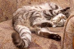 Σκωτσέζικος-ευθεία γκρίζα γάτα Στοκ φωτογραφίες με δικαίωμα ελεύθερης χρήσης