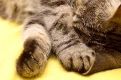 Σκωτσέζικος-ευθεία γκρίζα γάτα Στοκ εικόνες με δικαίωμα ελεύθερης χρήσης