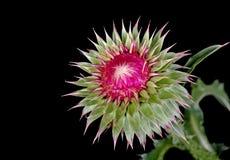 σκωτσέζικος κάρδος onopordum acanthium Στοκ φωτογραφίες με δικαίωμα ελεύθερης χρήσης