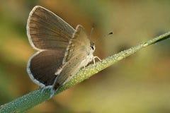 Σκωτσέζικος μπλε καφετής Aricia atraxerxes Argus πεταλούδων σε μια λεπίδα της χλόης στη δροσιά πρωινού Στοκ Φωτογραφίες