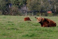 Σκωτσέζικος highlander στις Κάτω Χώρες στοκ φωτογραφία με δικαίωμα ελεύθερης χρήσης