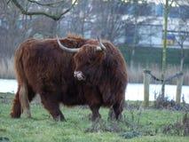 Σκωτσέζικος Highlander στο wintertime στην Ολλανδία στοκ εικόνες