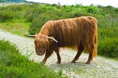 Σκωτσέζικος Highlander Στοκ Φωτογραφίες