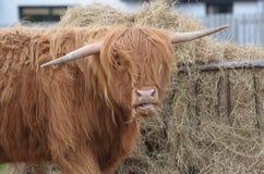 Σκωτσέζικο αγρόκτημα με μια αγελάδα ορεινών περιοχών που τρώει το σανό Στοκ εικόνες με δικαίωμα ελεύθερης χρήσης