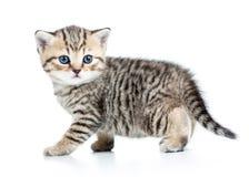 Σκωτσέζικο βρετανικό γατάκι μωρών Στοκ εικόνες με δικαίωμα ελεύθερης χρήσης