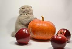 Σκωτσέζικο γατάκι πτυχών με τα φρούτα στοκ εικόνα