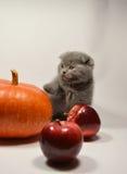 Σκωτσέζικο γατάκι πτυχών με τα φρούτα στοκ εικόνα με δικαίωμα ελεύθερης χρήσης