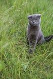Σκωτσέζικο γατάκι πτυχών στο πράσινο λιβάδι Στοκ Εικόνες