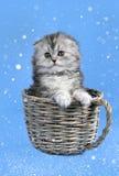 Σκωτσέζικο γατάκι πτυχών στο χιόνι στοκ εικόνες
