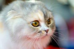 Σκωτσέζικο γατάκι πτυχών Στοκ Φωτογραφία