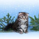 Σκωτσέζικο γατάκι πτυχών στοκ εικόνες