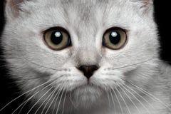 Σκωτσέζικο ευθύ γατάκι κινηματογραφήσεων σε πρώτο πλάνο στοκ φωτογραφία