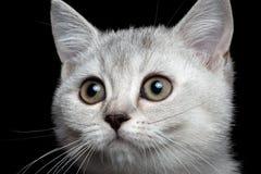 Σκωτσέζικο ευθύ γατάκι κινηματογραφήσεων σε πρώτο πλάνο στοκ φωτογραφία με δικαίωμα ελεύθερης χρήσης