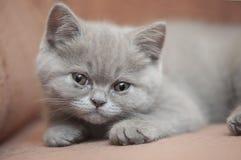 Σκωτσέζικο ευθύ γατάκι Στοκ Φωτογραφία