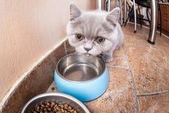 Σκωτσέζικο ευθύ γατάκι Στοκ φωτογραφίες με δικαίωμα ελεύθερης χρήσης