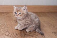 Σκωτσέζικο ευθύ γατάκι Pedigreed Στοκ Φωτογραφία