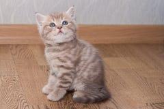Σκωτσέζικο ευθύ γατάκι Pedigreed Στοκ εικόνα με δικαίωμα ελεύθερης χρήσης