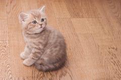 Σκωτσέζικο ευθύ γατάκι Pedigreed Στοκ φωτογραφία με δικαίωμα ελεύθερης χρήσης
