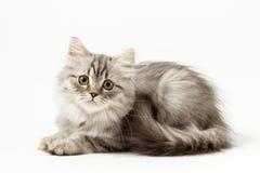 Σκωτσέζικο ευθύ μακρυμάλλες γατάκι που βρίσκεται στο άσπρο υπόβαθρο Στοκ εικόνα με δικαίωμα ελεύθερης χρήσης
